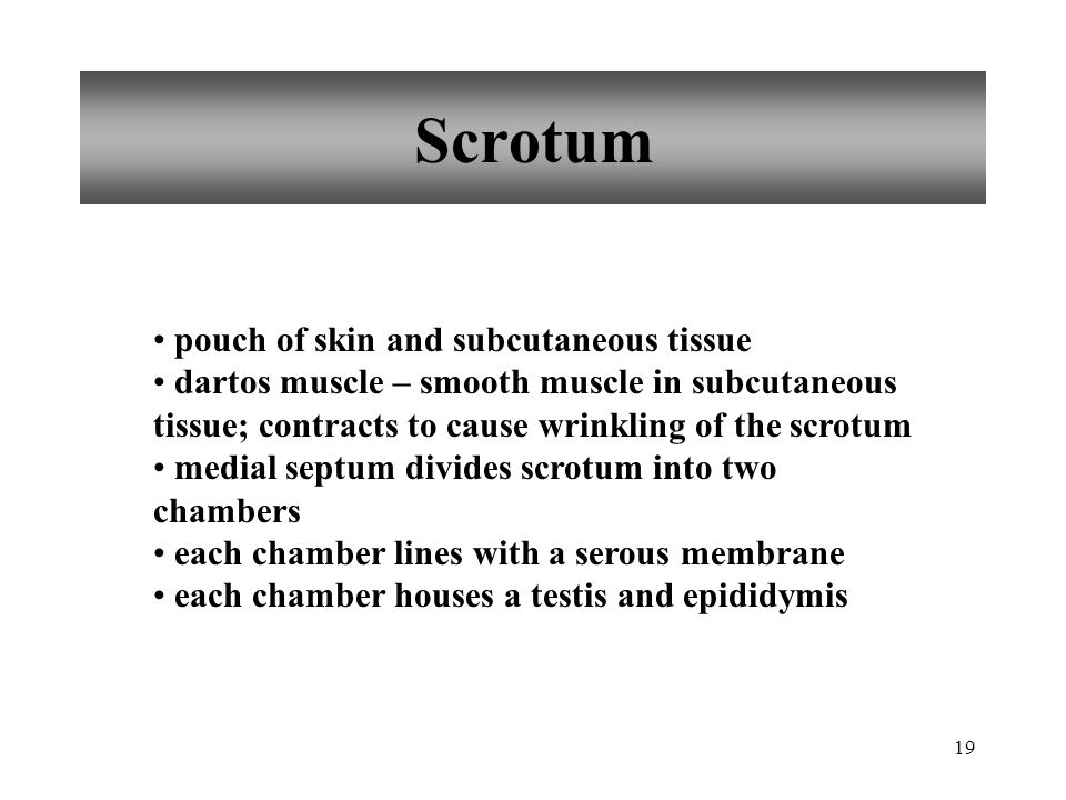 Scrotum pouch of skin and subcutaneous tissue