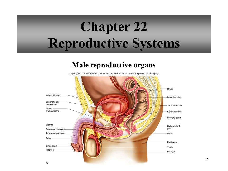 Chapter 22 Reproductive Systems