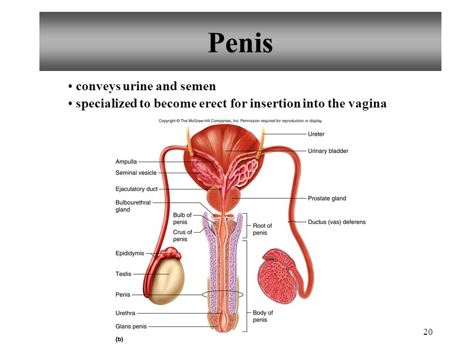 Penis conveys urine and semen