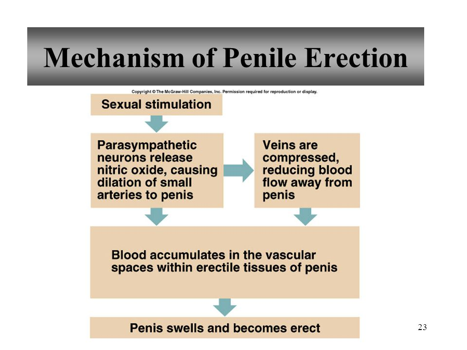 Mechanism of Penile Erection
