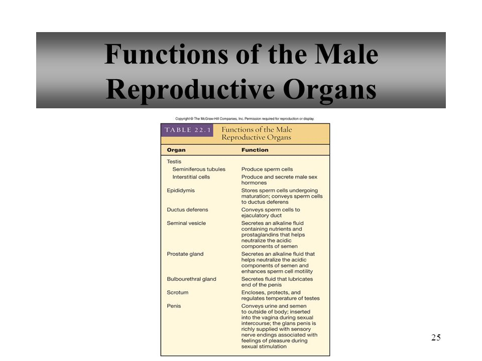 Functions of the Male Reproductive Organs