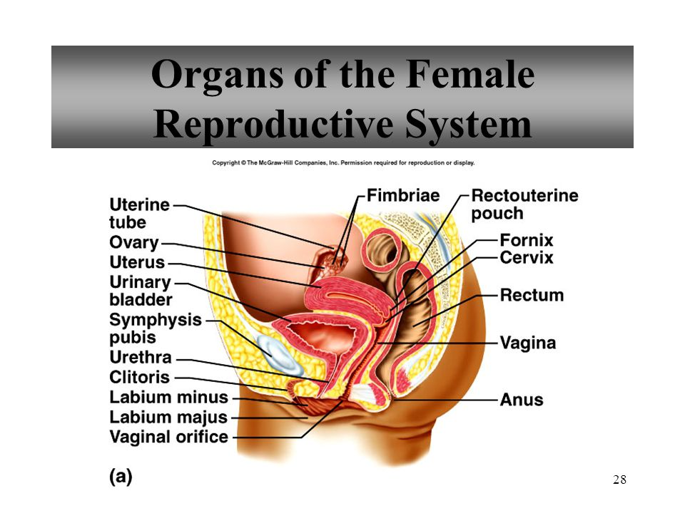 Organs of the Female Reproductive System