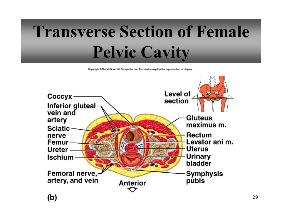 Transverse Section of Female Pelvic Cavity