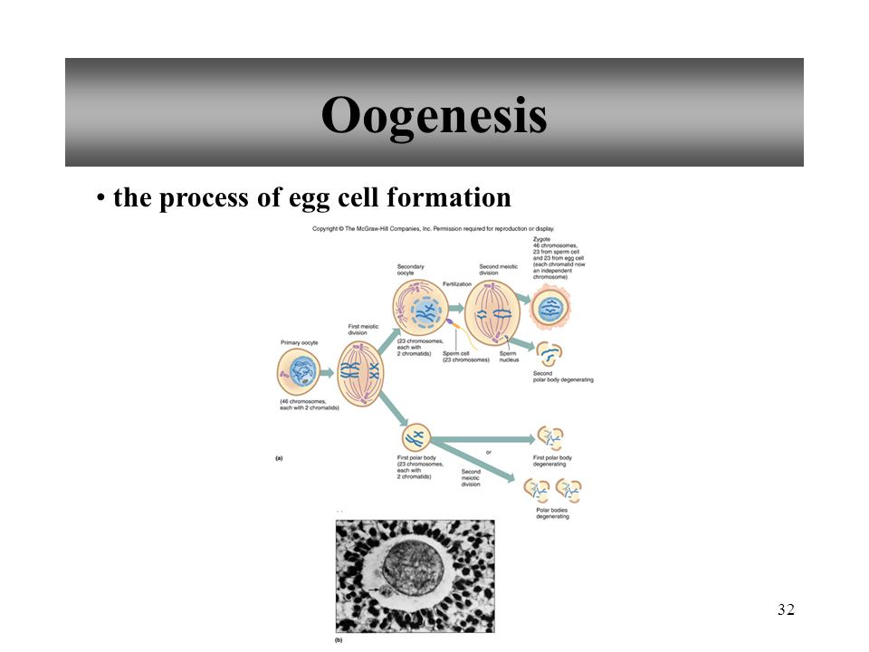 Oogenesis the process of egg cell formation