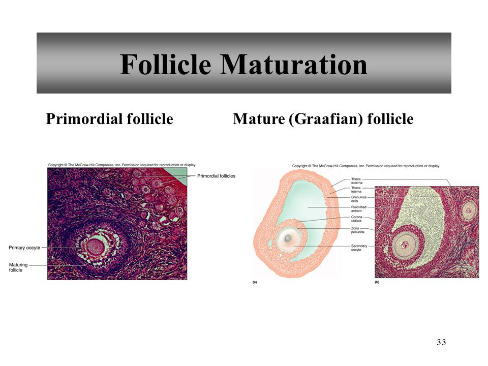 Follicle Maturation Primordial follicle Mature (Graafian) follicle