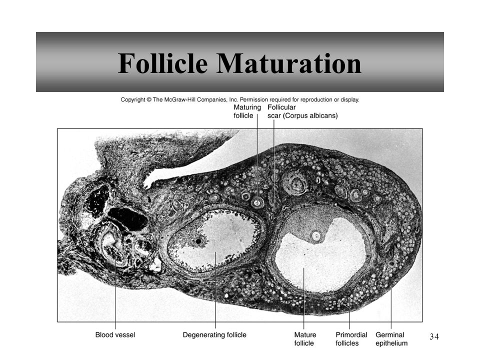 Follicle Maturation