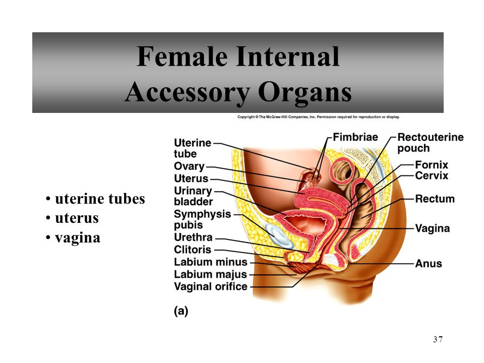 Female Internal Accessory Organs