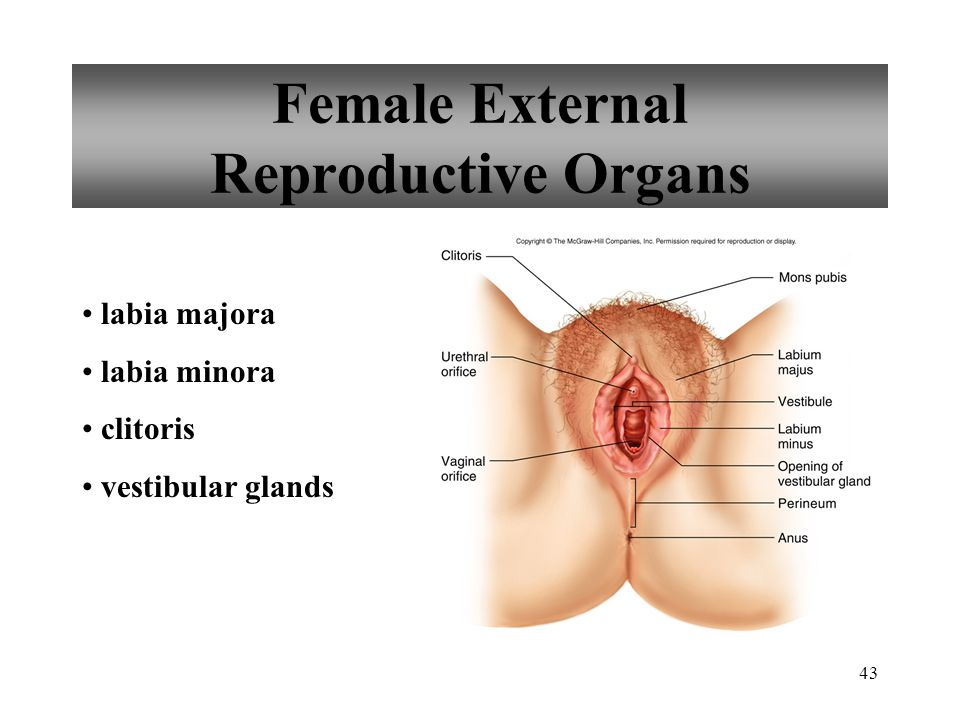 Female External Reproductive Organs