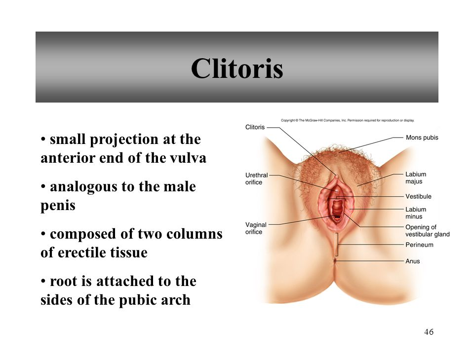 Clitoris small projection at the anterior end of the vulva