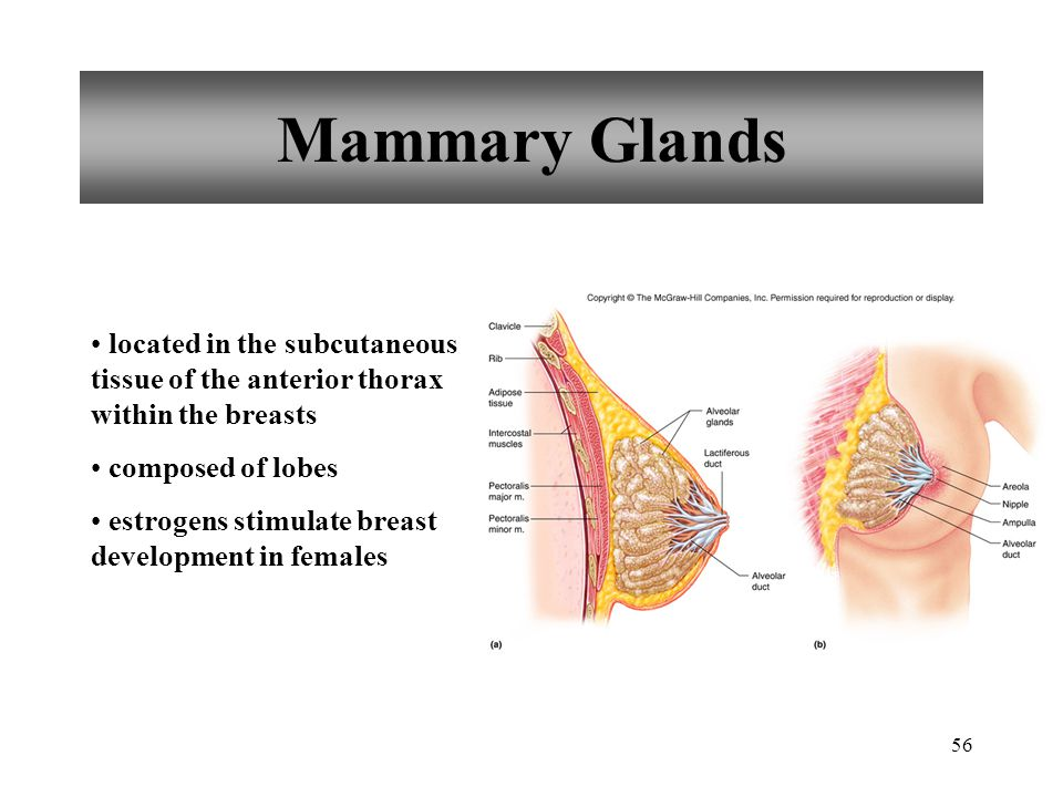 Mammary Glands located in the subcutaneous tissue of the anterior thorax within the breasts. composed of lobes.