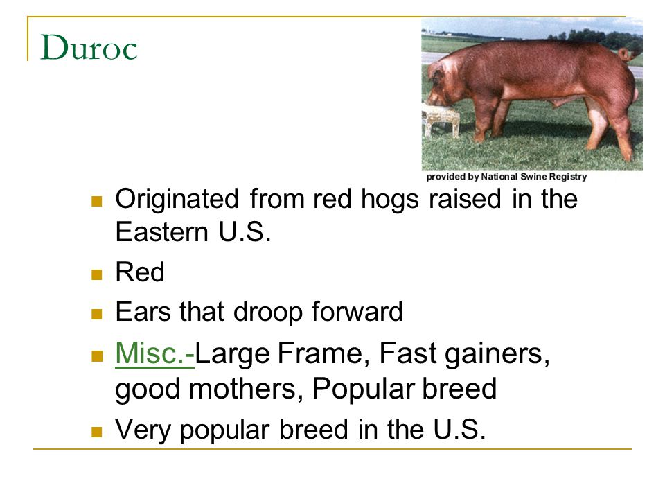Duroc Misc.-Large Frame, Fast gainers, good mothers, Popular breed