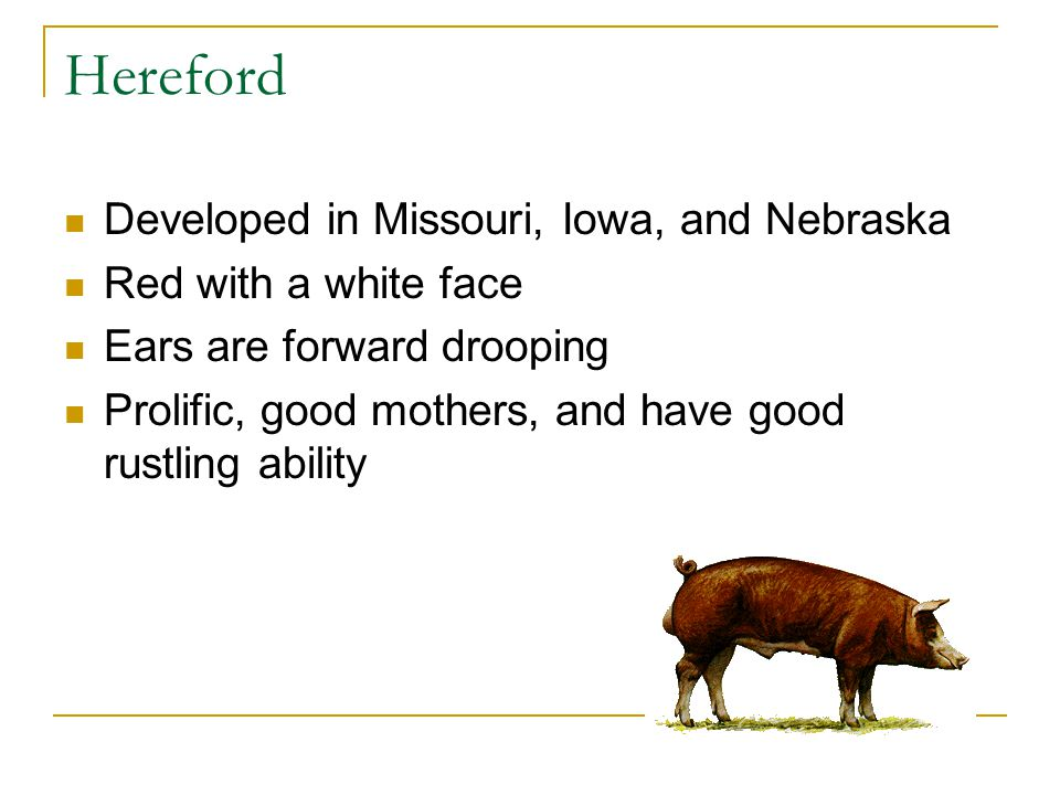 Hereford Developed in Missouri, Iowa, and Nebraska