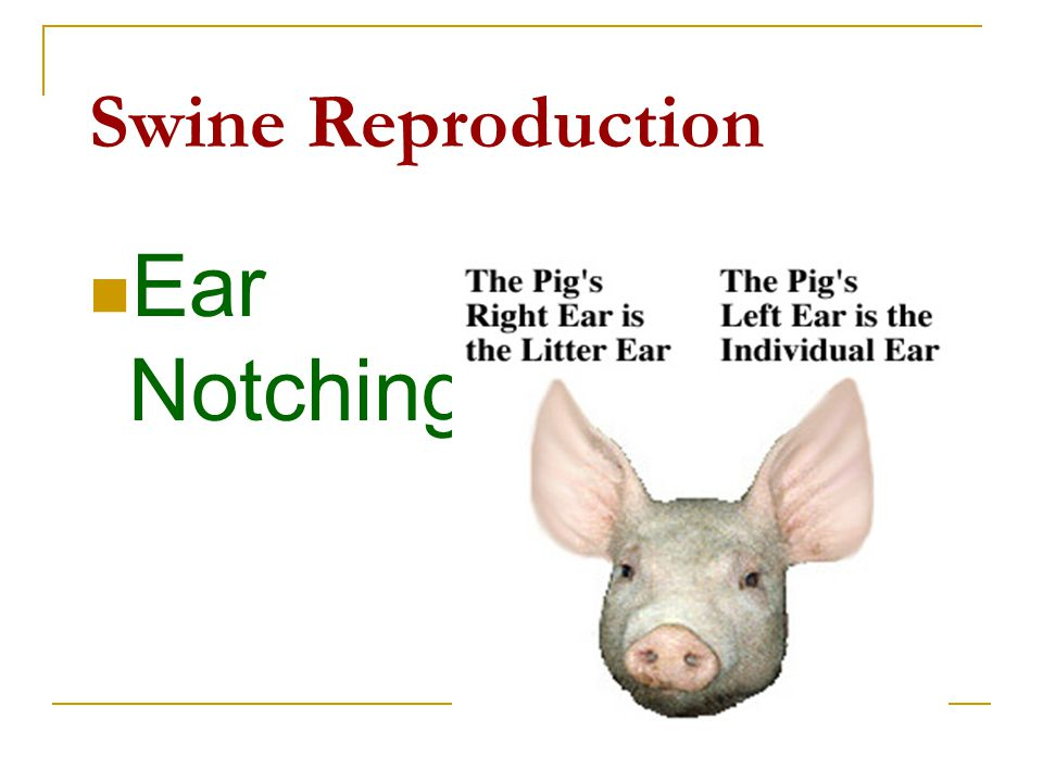 Swine Reproduction Ear Notching