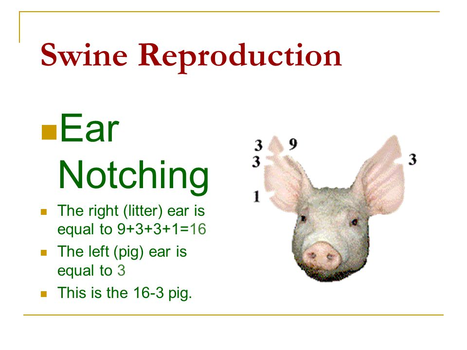 Ear Notching Swine Reproduction