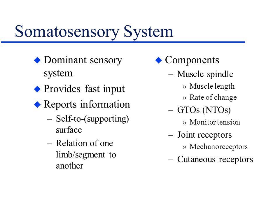 Somatosensory System Dominant sensory system Provides fast input