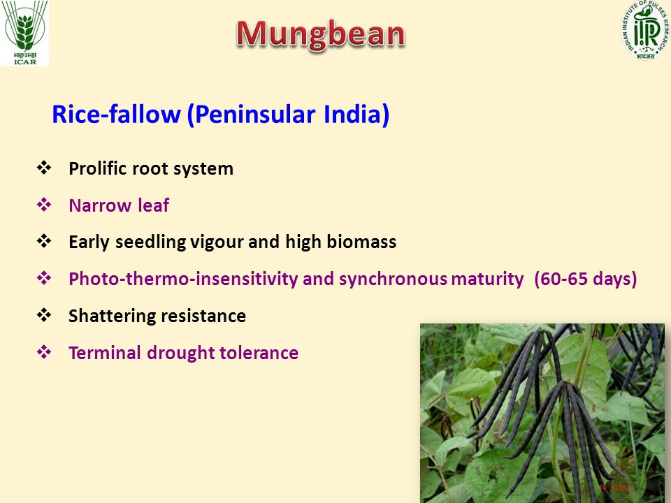 Mungbean Rice-fallow (Peninsular India) Prolific root system