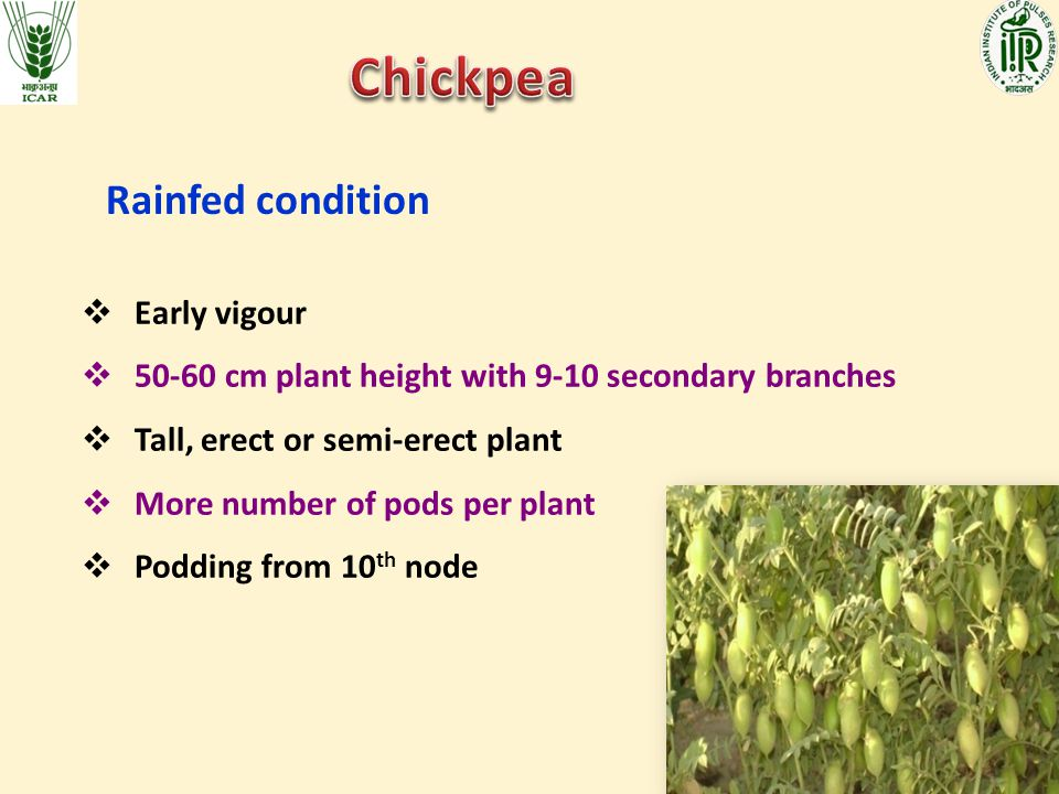Chickpea Rainfed condition Early vigour