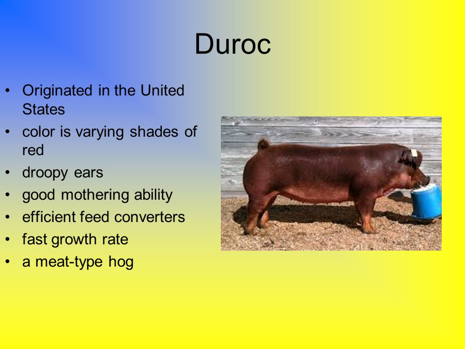 Duroc Originated in the United States color is varying shades of red