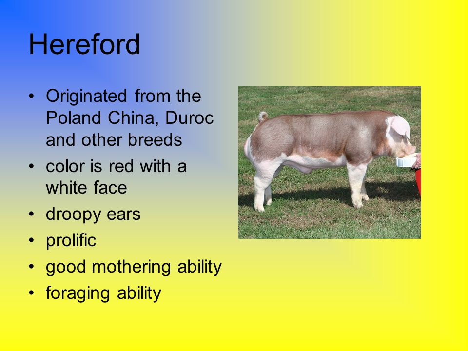 Hereford Originated from the Poland China, Duroc and other breeds
