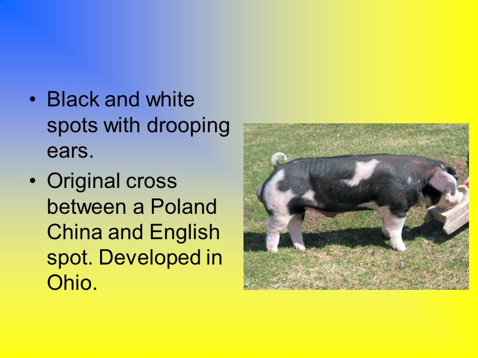 Black and white spots with drooping ears.
