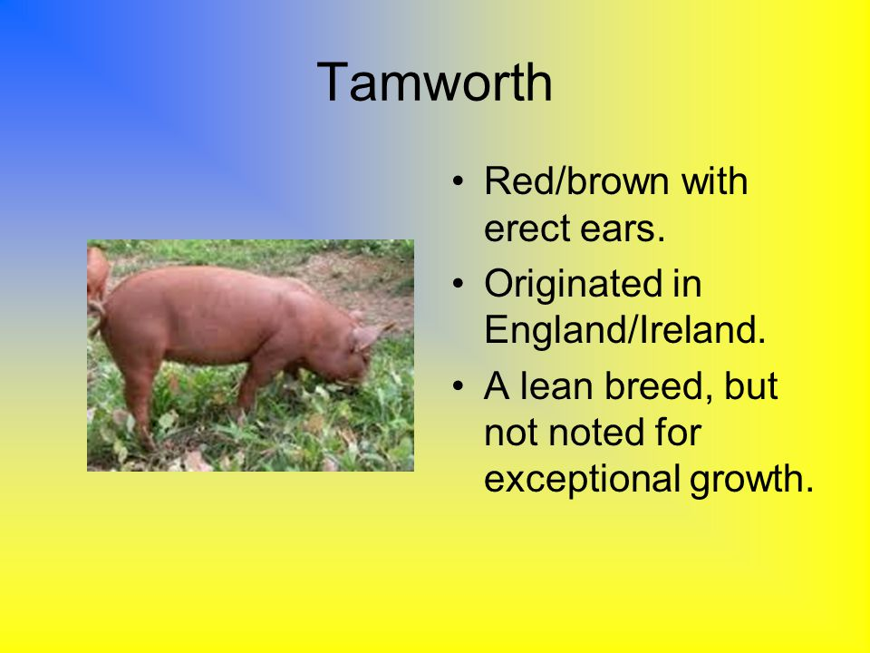 Tamworth Red/brown with erect ears. Originated in England/Ireland.