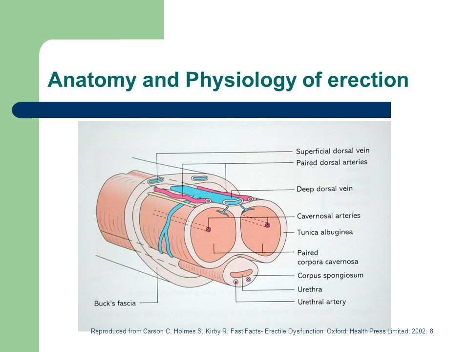 Anatomy and Physiology of erection