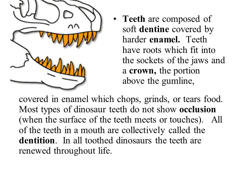 Teeth are composed of soft dentine covered by harder enamel
