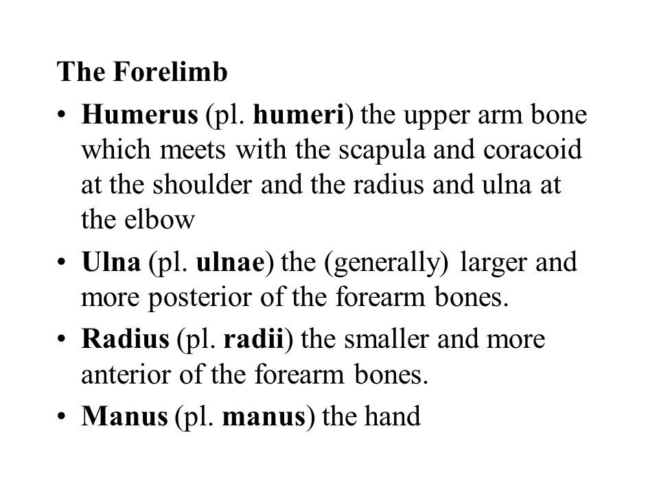 The Forelimb Humerus (pl. humeri) the upper arm bone which meets with the scapula and coracoid at the shoulder and the radius and ulna at the elbow.