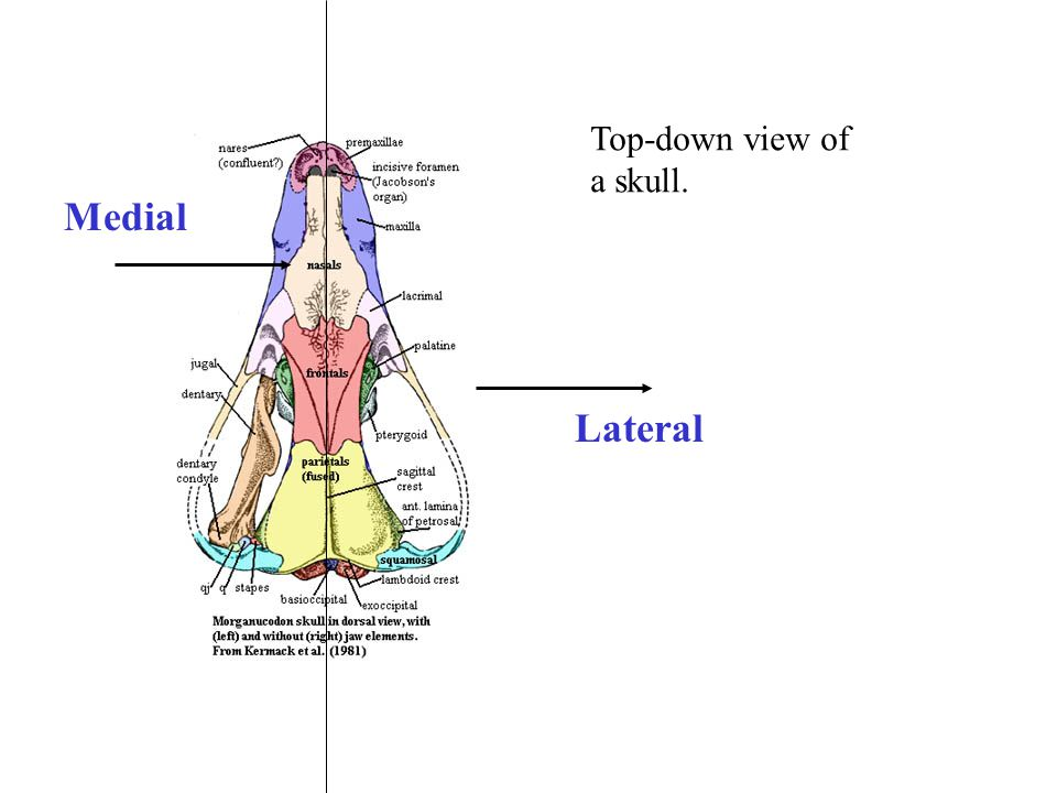 Top-down view of a skull. Medial Lateral