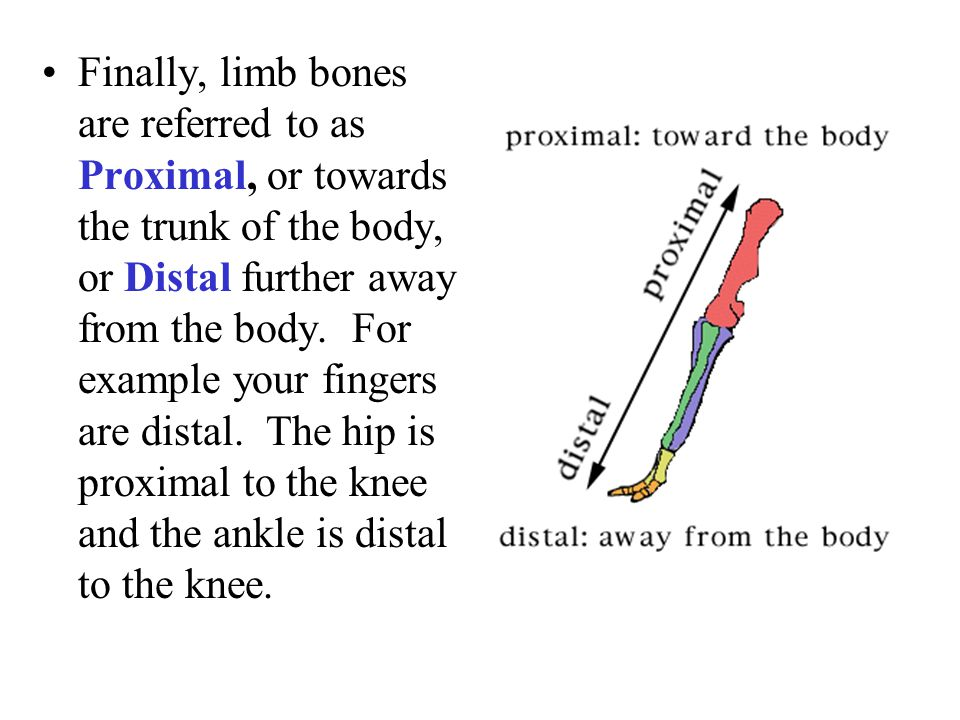 Finally, limb bones are referred to as Proximal, or towards the trunk of the body, or Distal further away from the body.