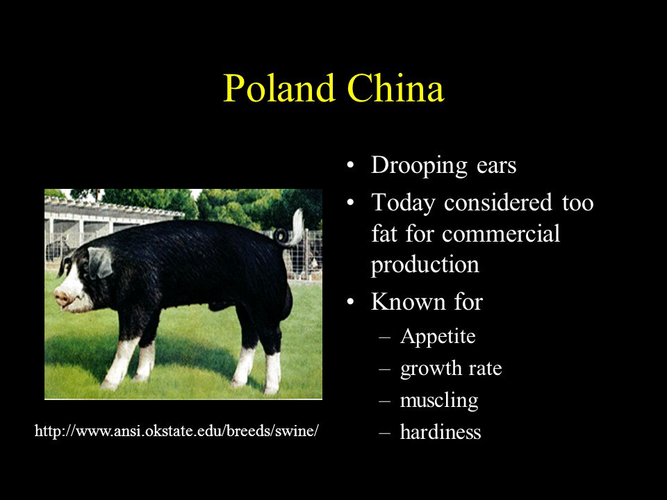 Poland China Drooping ears