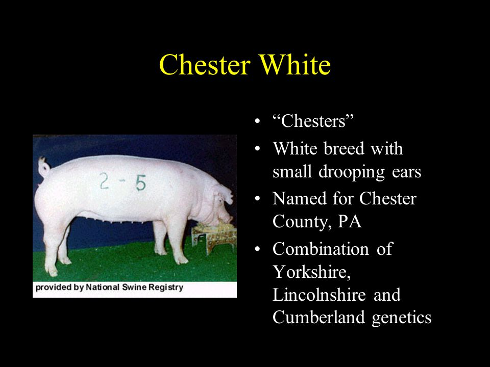 Chester White Chesters White breed with small drooping ears