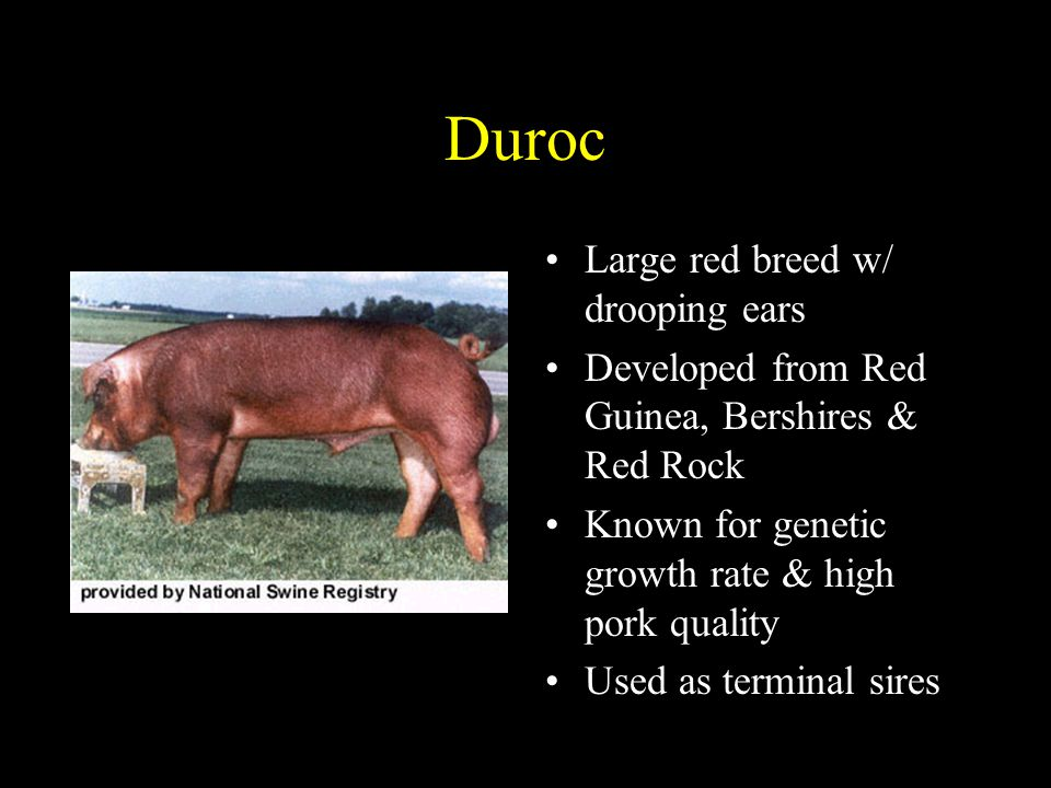 Duroc Large red breed w/ drooping ears