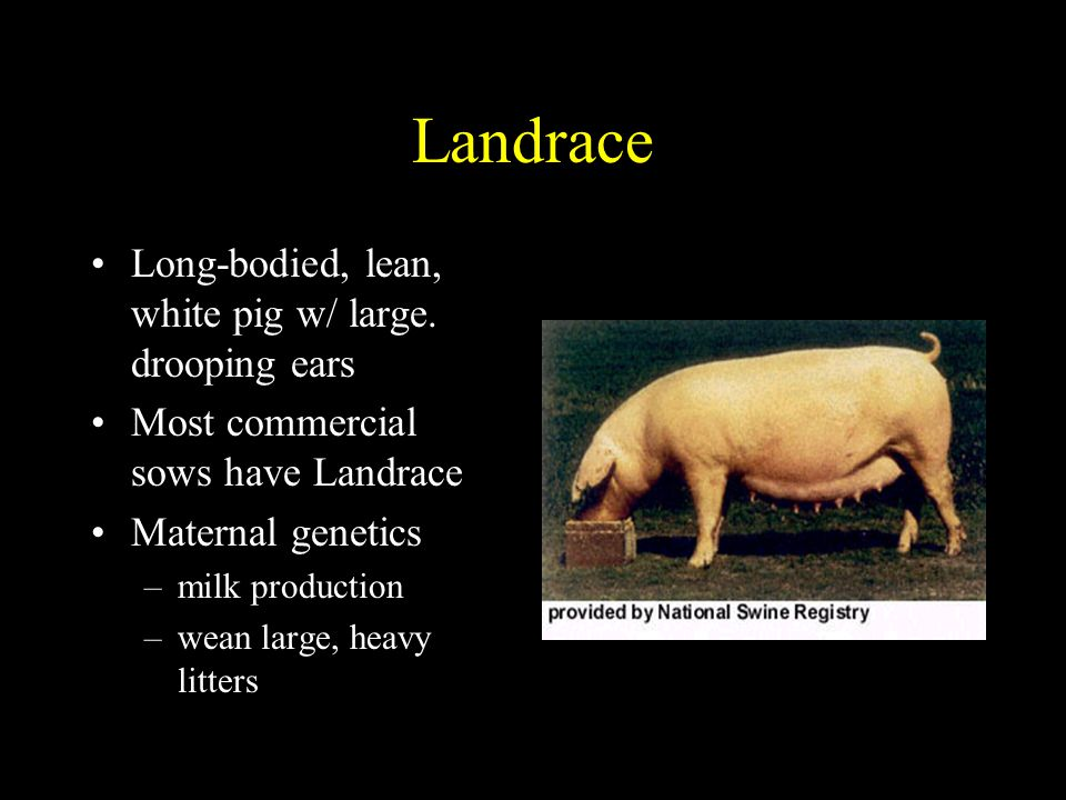 Landrace Long-bodied, lean, white pig w/ large. drooping ears
