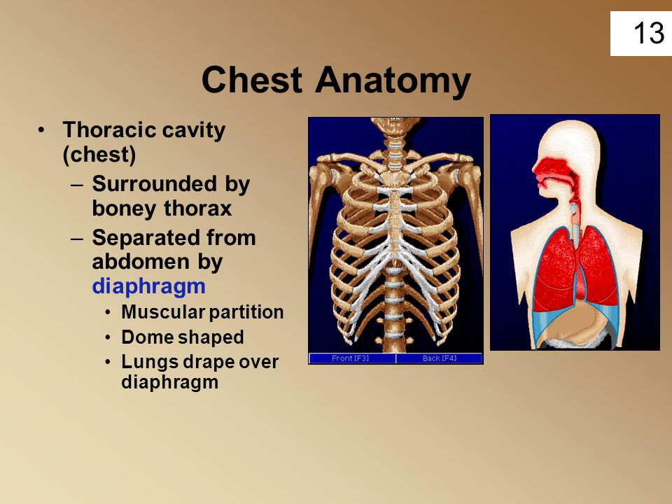 Chest Anatomy Thoracic cavity (chest) Surrounded by boney thorax