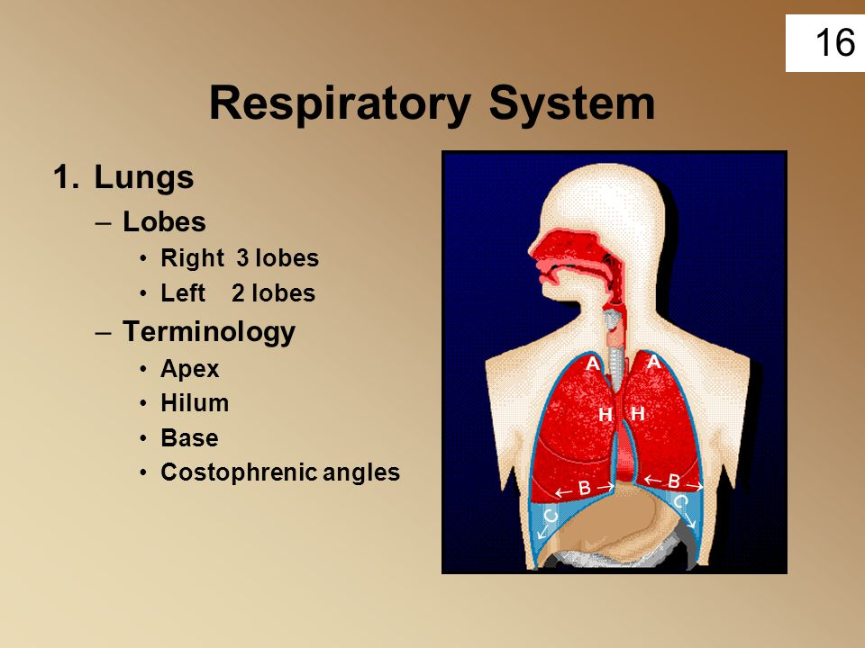 Respiratory System 1. Lungs Lobes Terminology Right 3 lobes
