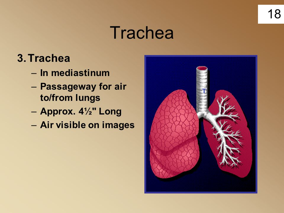 Trachea 3. Trachea In mediastinum Passageway for air to/from lungs