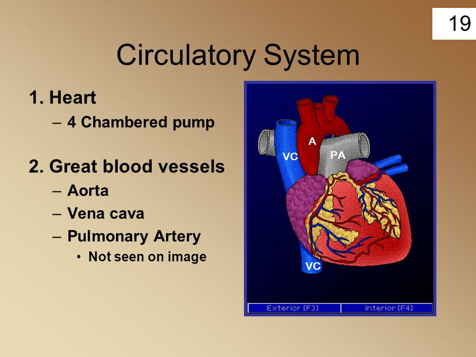 Circulatory System 1. Heart 2. Great blood vessels 4 Chambered pump