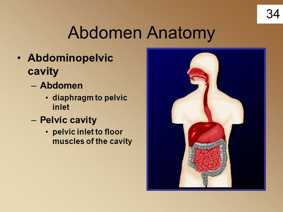 Abdomen Anatomy Abdominopelvic cavity Abdomen Pelvic cavity