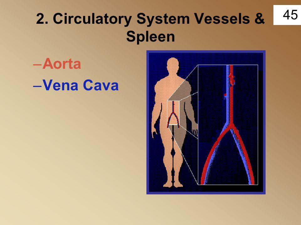 2. Circulatory System Vessels & Spleen