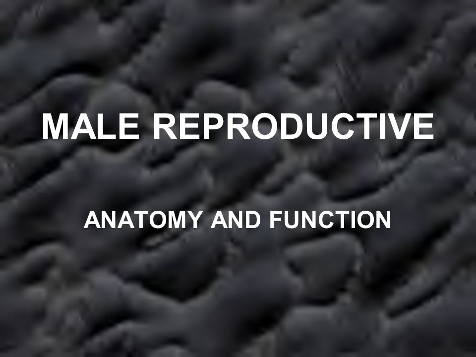 MALE REPRODUCTIVE ANATOMY AND FUNCTION