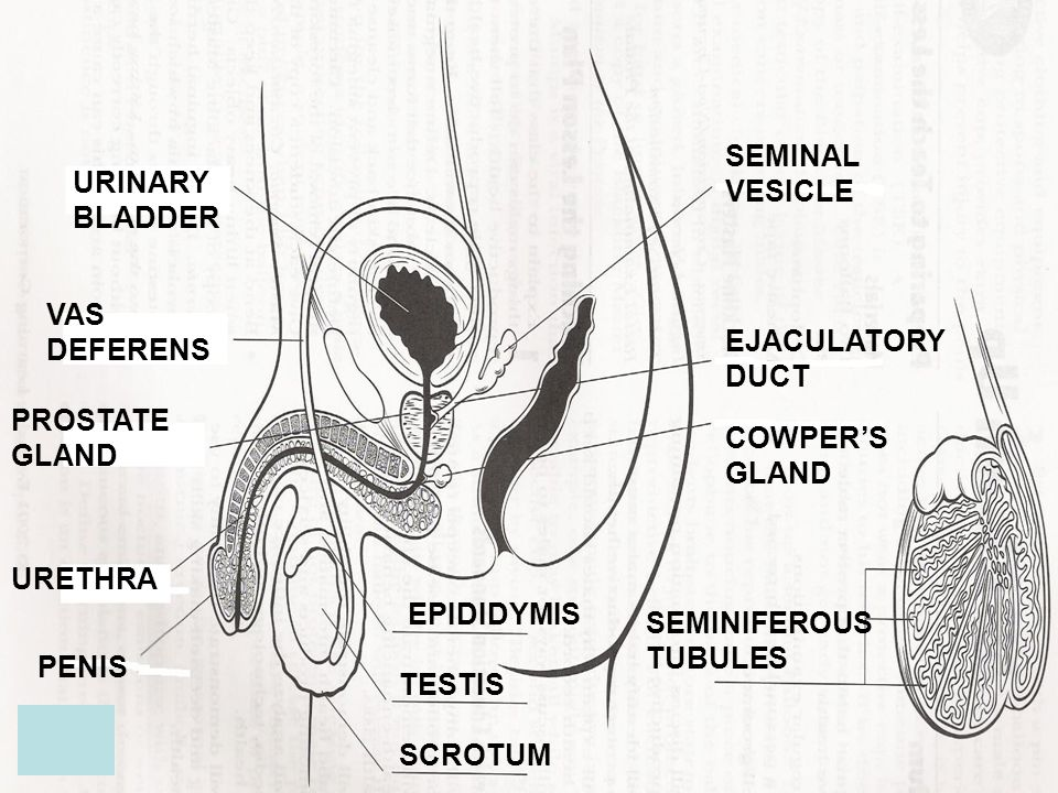 SEMINAL VESICLE URINARY BLADDER. VAS DEFERENS. EJACULATORY DUCT. PROSTATE GLAND. COWPER'S GLAND.