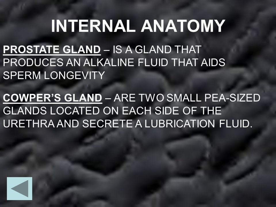INTERNAL ANATOMY PROSTATE GLAND – IS A GLAND THAT PRODUCES AN ALKALINE FLUID THAT AIDS SPERM LONGEVITY.
