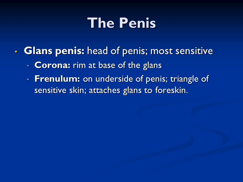 The Penis Glans penis: head of penis; most sensitive