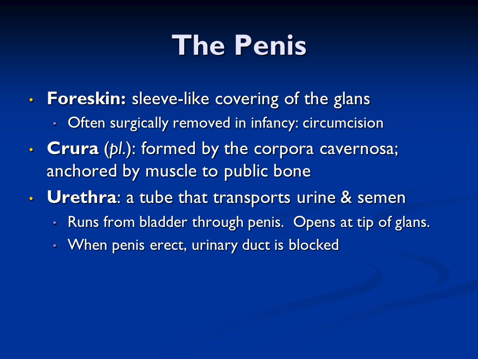 The Penis Foreskin: sleeve-like covering of the glans
