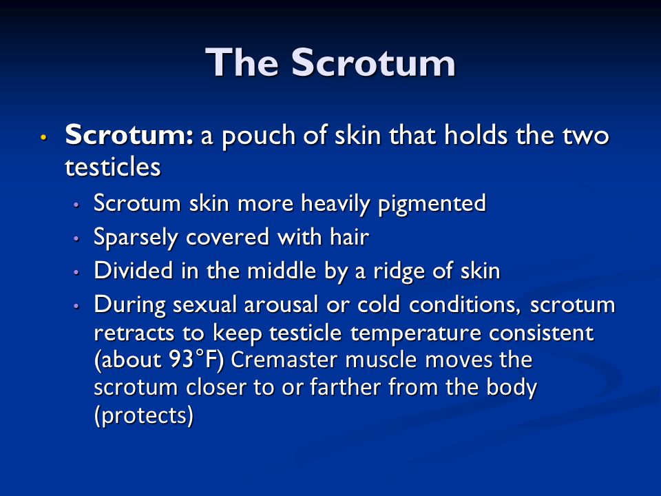 The Scrotum Scrotum: a pouch of skin that holds the two testicles