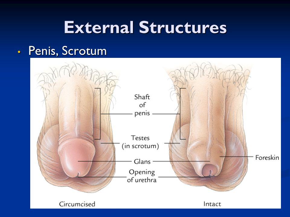 External Structures Penis, Scrotum