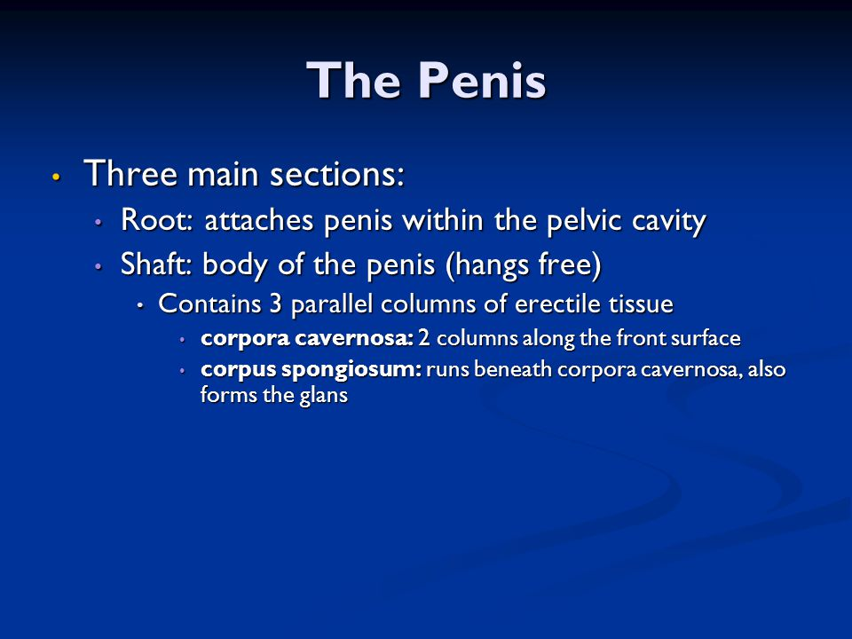 The Penis Three main sections: