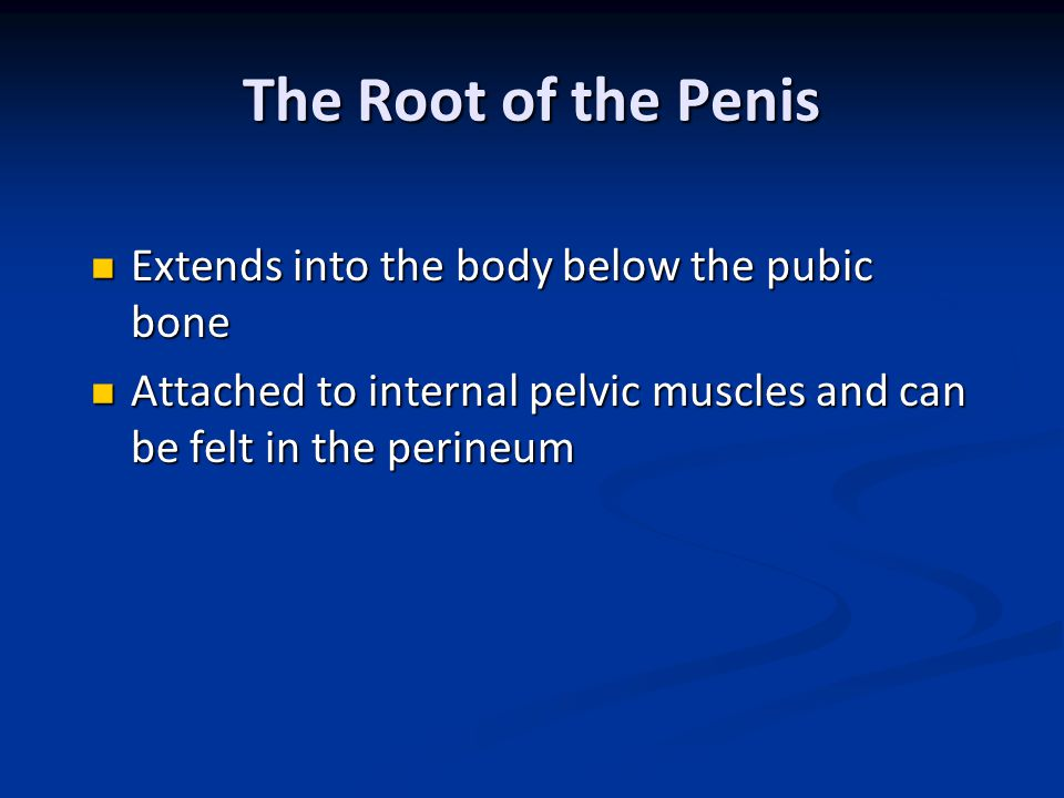 The Root of the Penis Extends into the body below the pubic bone