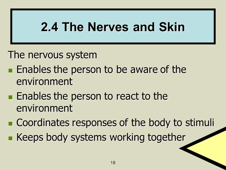 2.4 The Nerves and Skin The nervous system